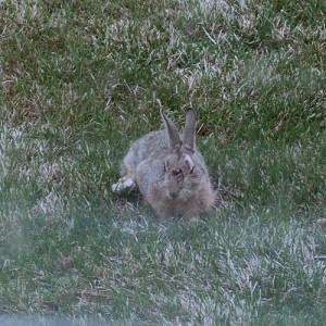 BrokeLeg the Rabbit